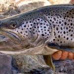great-lakes-brown-trout-steelhead